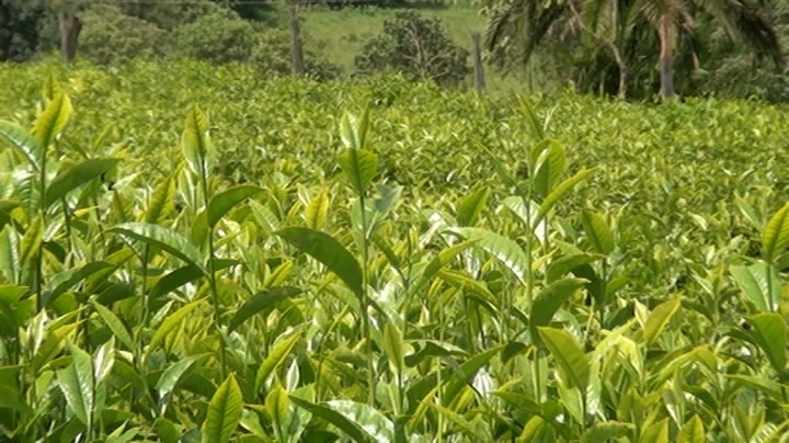 This is part of a maize plantation that Kogo Sarah Saina still cultivates at her home in Kabiyet, Nandi County.  She advises the youth that farming is as cool as any other profitable enterprise. Picture by Wilson Rotich.